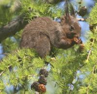 scoiattolo rosso, foto Uninsubria