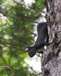 scoiattolo (sciurus meridionalis), CREDITS: Photograph by Antonio Mancuso