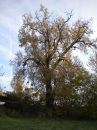 Pioppo-bianco-Voghera-Pv-Campo-Ferro-Strada-Brignolo-vicino-200-anni-albero-Piccola-vedetta-lombarda