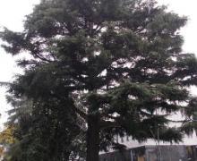 Cedro-dellHimalaya-Legnano-Mi-piazza-Ferré-più-di-100-anni